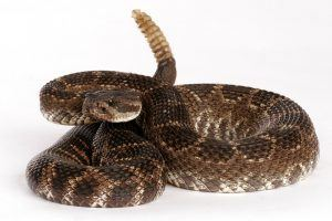 Southern Pacific Rattlesnake against a white background.