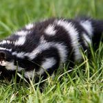 Eastern spotted skunk in grass