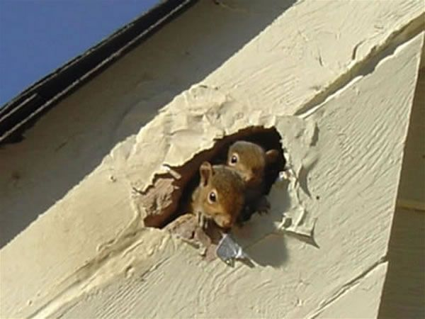 Squirrels are damaging the house.