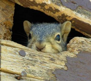 A squirrel hiding inside the attic