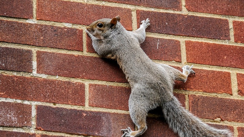 Squirrel climbing on a brick wall