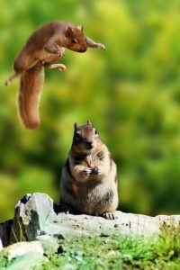 A squirrel and chipmunk are having fun together