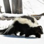 Striped Skunk walking in snow