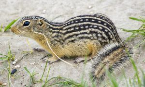 Thirteen-lined ground squirrel on ground.