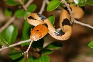 All about tiger snake
