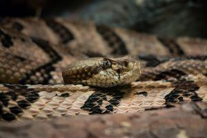 Timber Rattlesnake in desert
