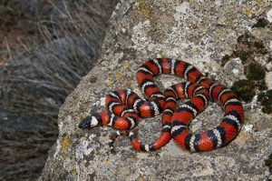 Red color venomous snake