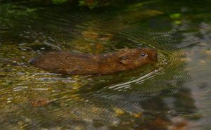 Vole is swimming in the water.