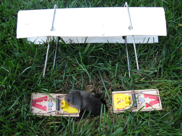 A vole is catched by the trap on the ground.