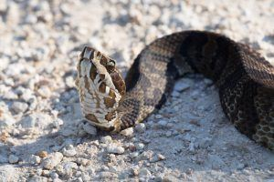 Appearance of Water Moccasin Snake