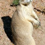 White-tailed prairie dog in woods