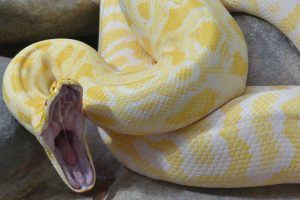 Close up of a yellow anaconda with wide open mouth