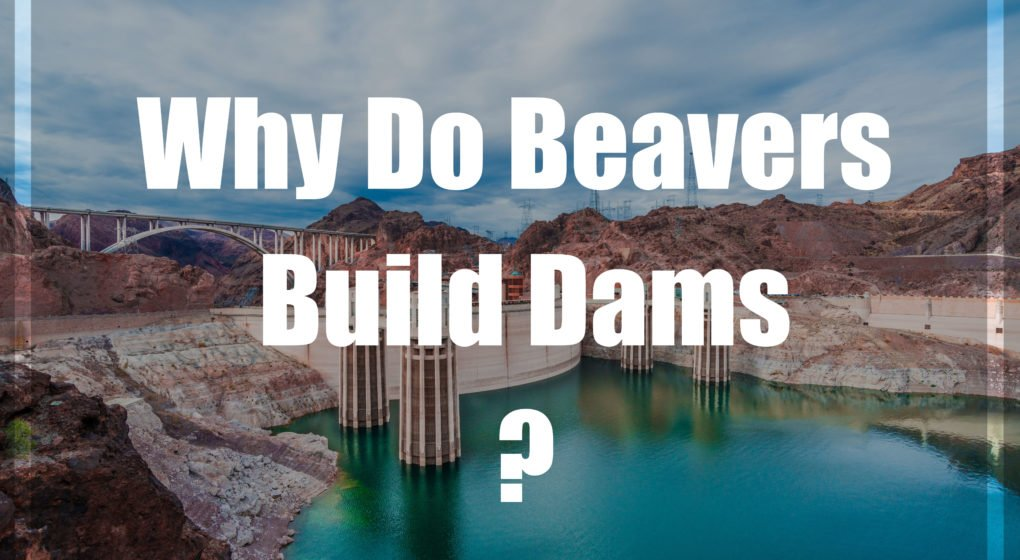 Why Do Beavers Build Dams?