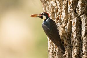 Acorn Woodpecker with nut
