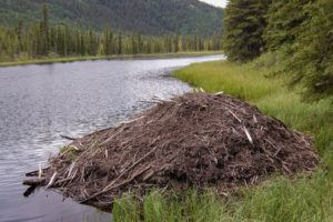 Beaver lodge by the lake.