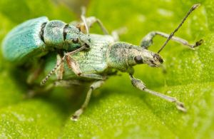 A couple of green snout beetles are mating on the green leaf.