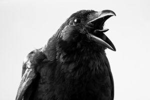 Black crow with big opened mouth