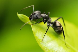 Black garden ant on green leaf