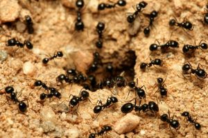 Black Garden Ants And Cave