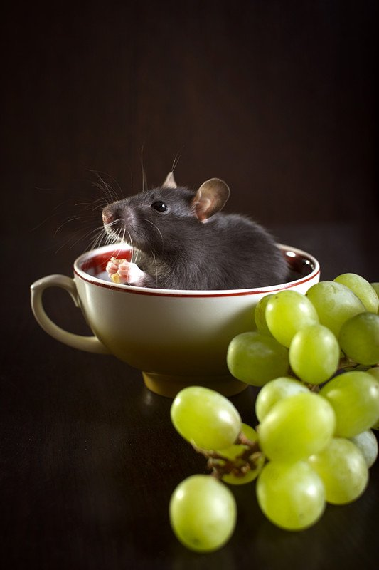 Small black rat in a cup with green grapes