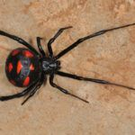 Black widow spider on ground