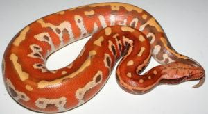 Red blood Python snake