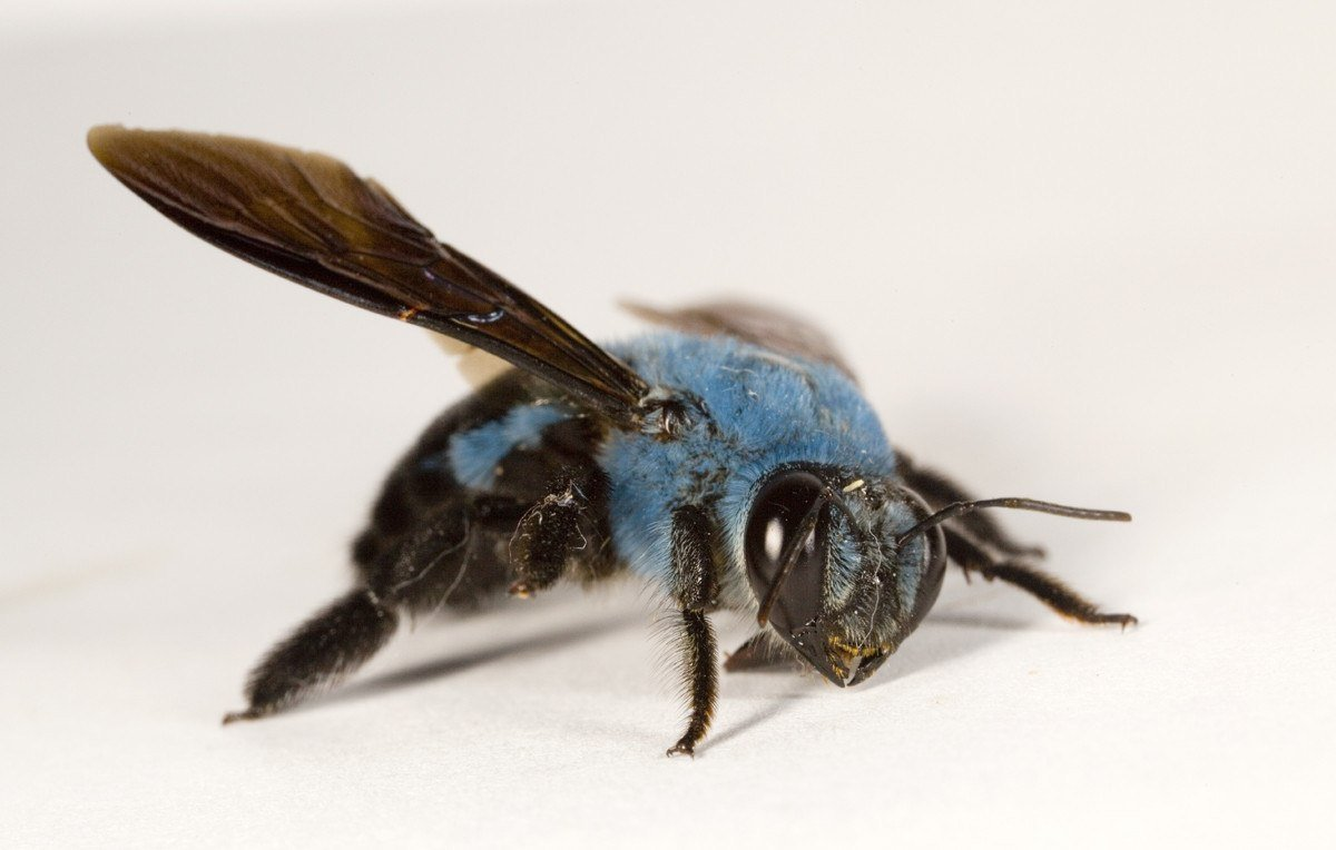 Blue carpenter bee on white background.