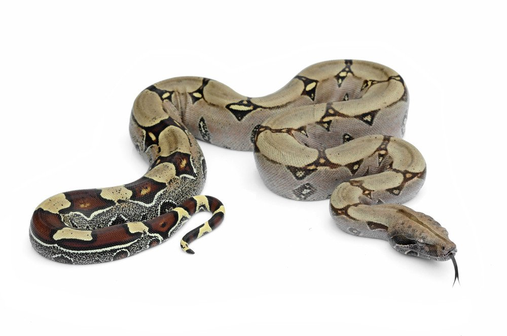 Boa constrictor isolated on the white.