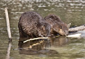 Beavers at work for building dam.