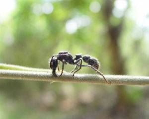Bullet ant resting on branch