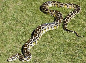 Burmese Python snake lying on grass