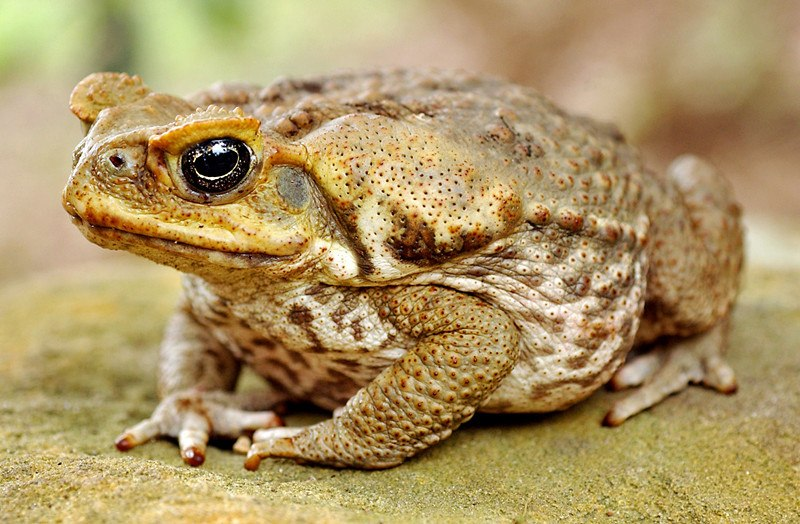Cane toad sitting on rock