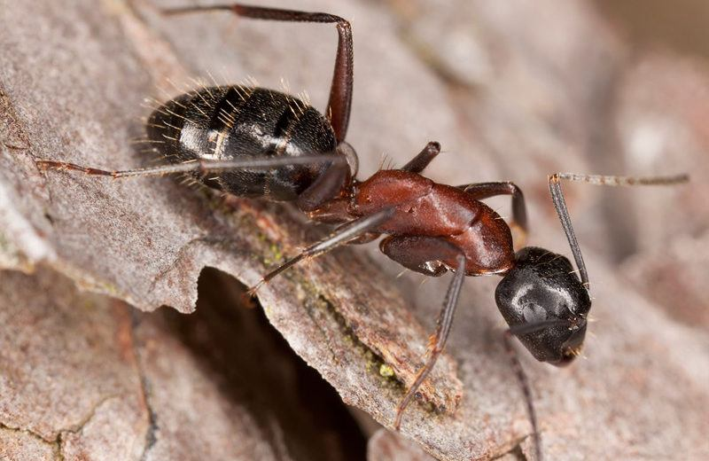 Closeup carpenter ant