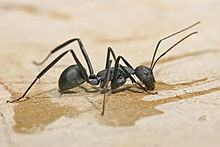 Carpenter ant on ground