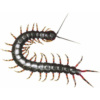 Picture of centipede