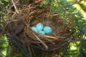 Chipping sparrow eggs in a cozy nest