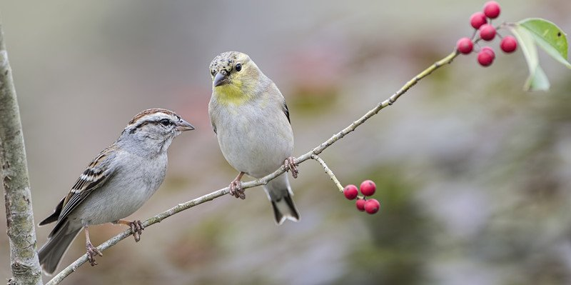 Chipping Sparrow and American Goldfinch Perched on American Holly Branch