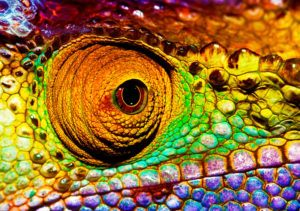 Closeup head part of chameleon