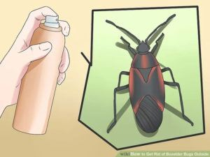 Control boxelder bug at home