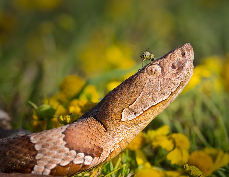 Copperhead snake with a bug on head