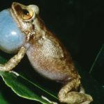 Coqui frog on green leaves