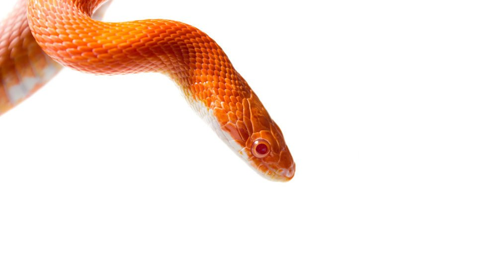 Cute corn snake female on a tree isolated on white.