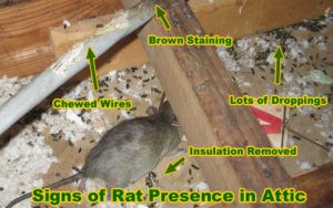 Destruction caused by rats