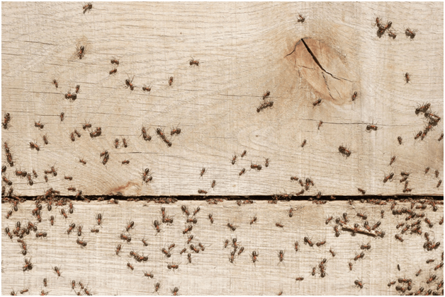 Pharaoh Ants: Basic Facts & How to Get Rid of them - PestWiki