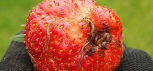 Millipedes damage on strawberry
