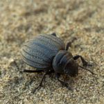 Darkling beetle isolated on beach sandy dune.