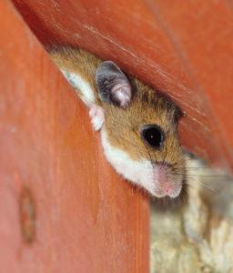 Close- up view of a Deer Mouse