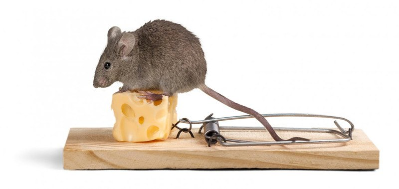A trap for deer mouse
