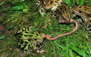 Northern leopard frogs eating worm