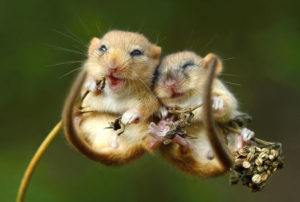 Two dormice snuggling together